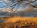 Wollmatinger Ried, trockener Uferbewuchs im Winter bei Sonne.jpg