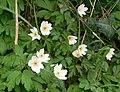 Wood anemone (Anemone nemorosa) - geograph.org.uk - 784975.jpg