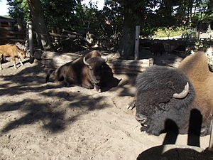 Wood bison - Wood bisons including a calf in Nordhorn