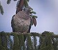 Wood pigeon (49969356176).jpg
