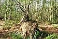 Woodland, Loynton Moss - geograph.org.uk - 1274909.jpg