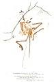 Woodward (1862) London Archaeopteryx sketch.jpg