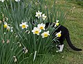 Wraxall 2012 MMB 16 Smudge and daffodils.jpg
