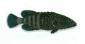 XRF-Cephalopolis argus.png