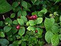 X Sinocalycalycanthus Hartlage Wine - Flickr - peganum (2).jpg