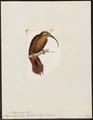 Xiphorhynchus pucherani - 1820-1860 - Print - Iconographia Zoologica - Special Collections University of Amsterdam - UBA01 IZ19200257.tif