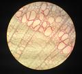 Xylem rays (tilia).png