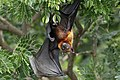 YT 0487 Lyle's flying fox (35959956035).jpg