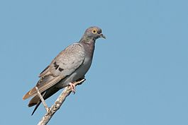 Yellow-eyed Pigeon.jpg