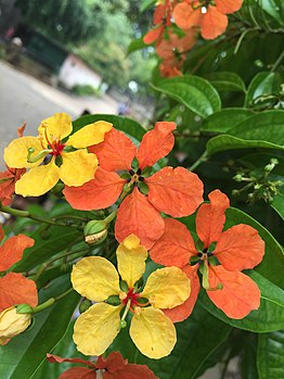 Yellow and orange caesalpinioideae in India - Colour.flower.jpg