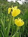 Yellow flag (Iris pseudacorus), Coolbeg - geograph.org.uk - 824297.jpg