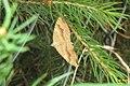 Yellow shell (NH266-FG) (15996655815).jpg