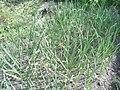 Young Allium sativum.JPG