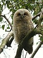 Young tawny owl - geograph.org.uk - 1405657.jpg