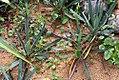 Yucca filamentosa 21zz.jpg