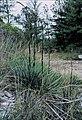 Yucca flaccida fh 1182.16 Georgia B.jpg