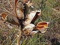 Yucca glauca (5242283562).jpg