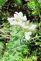 Zakynthos flora (det.) (35531131800).jpg