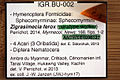 Zigrasimecia ferox JWJ-Bu17 museum tag and amber.jpg