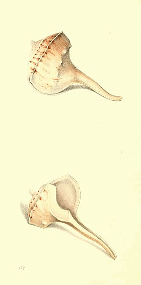 Zoological Illustrations Volume III Plate 177.jpg