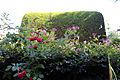 'Lonicera periclymenum' ~ Honeysuckle at Nuthurst, West Sussex, England 01.JPG