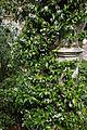'Trachelospermum jasminoides' Jasmin Capel Manor Gardens Enfield London England.jpg