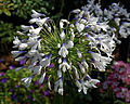 ' Agapanthus Queen Mum ' Capel Manor College Gardens Enfield London England.jpg