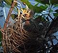 (1)Noisy miner nest 015.jpg
