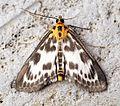 (1376) Eurrhypara hortulata - Flickr - Bennyboymothman.jpg