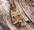 (2120) Ingrailed Clay (Diarsia mendica) (18621137779).jpg