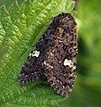 (2155) Dot Moth (Melanchra persicariae) (5882002330).jpg