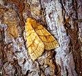 (2271) Orange Sallow (Tiliacea citrago) (30163768393).jpg
