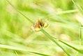 (2397) Small Yellow Underwing (Panemeria tenebrata) (3494466011).jpg