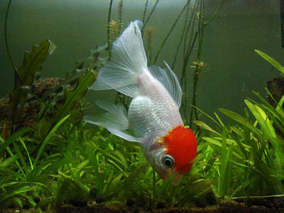 (Carassius auratus) Red cap oranda at Visakhapatnam, India 01.JPG