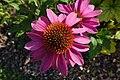 Échinacée pourpre (Echinacea purpurea) (1).jpg