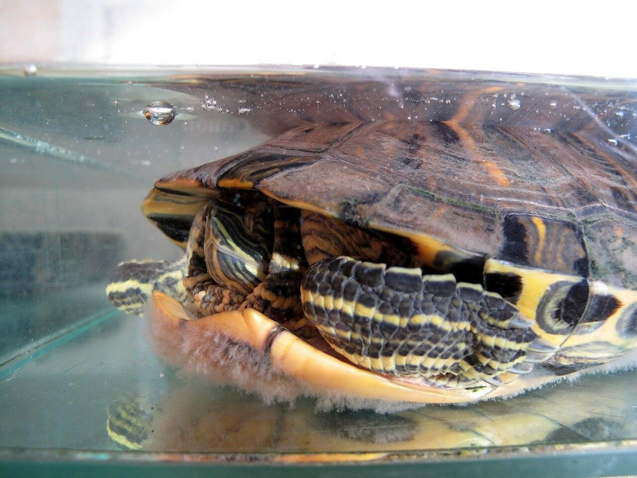 File želva pod vodou