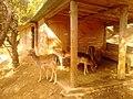 Ελάφια στη λίμνη Μπελέτσι στην Ιπποκράτειο Πολιτεία - panoramio.jpg