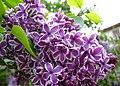 Бузок в Ботанічному саду.jpg