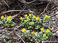 Весенник зимний в саду Травникова.jpg
