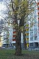 Вікове дерево акації, пр. Перемоги, 73-а 001.jpg