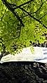 Віковий дуб.З.п. «Рубежівський» 05.jpg
