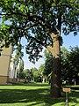 Гомель. Парк. Дуб черешчатый. Фото 02.jpg
