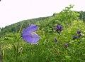Дзвоник альпійський (Gampanula alpina) в Карпатах.jpg