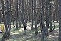 Закрученные деревья.jpg
