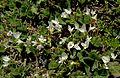 Клевер подземный - Trifolium subterraneum - Subterranean clover, often shortened to Subclover (Burrowing Clover) - Bodenfrüchtige Klee (26470357941).jpg