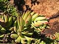 Мар'їн стрімчак. Sempervivum ruthenicum бутонізує.jpg
