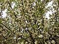 Овошно дръвче Буново.jpg