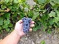 Синий дальневосточный виноград ф3.JPG
