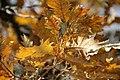 Споменик природе - стабло храста цера у Доњој Црнући крај Горњег Милановца 12.jpg