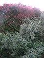 Цвіт скумпії та маслинки (лоха) в Севастополі 04.jpg